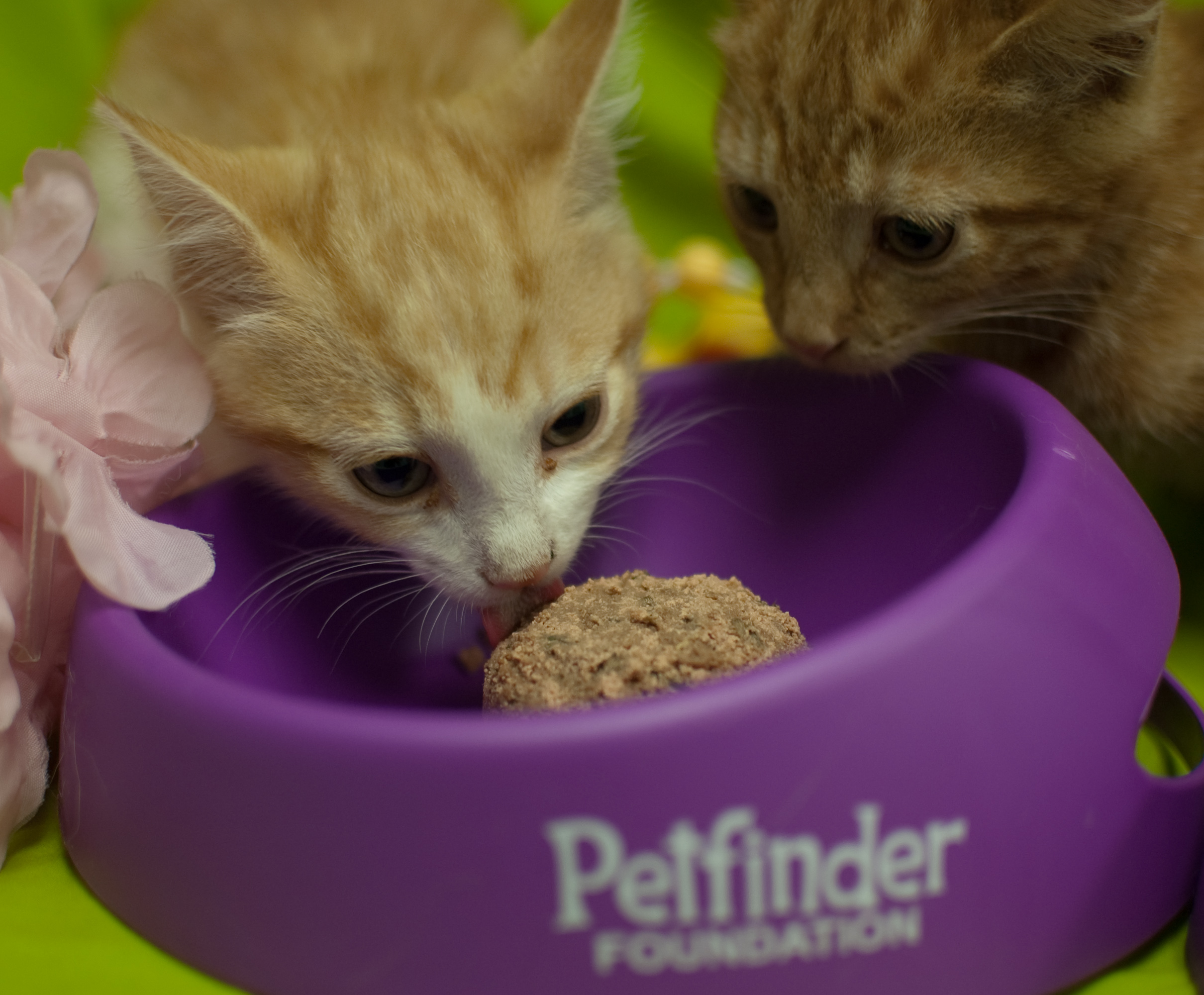 Two brother kittens enjoyed catsicles at PACC.